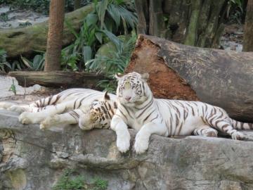 午後発!よくばりシンガポール動物園とナイトサファリ!