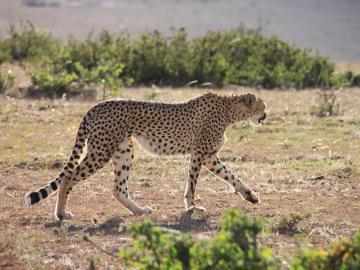 マサイマラ国立保護区でサファリ三昧! ナイロビ発2泊3日