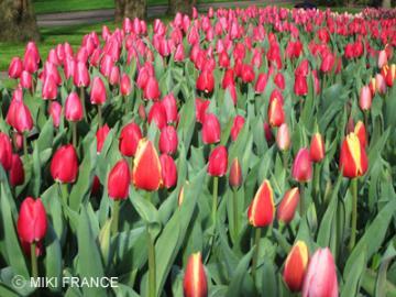 【5月3日発】デラックスバスで行く オランダ満喫1泊2日ツアー チューリップ、風車、アムステルダム観光