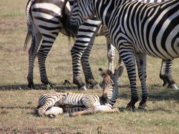 野生の動物王国ケニア 2泊3日の旅-マサイマラ国立保護区&ナクル湖国立公園